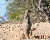 Buffels Drift Meerkat