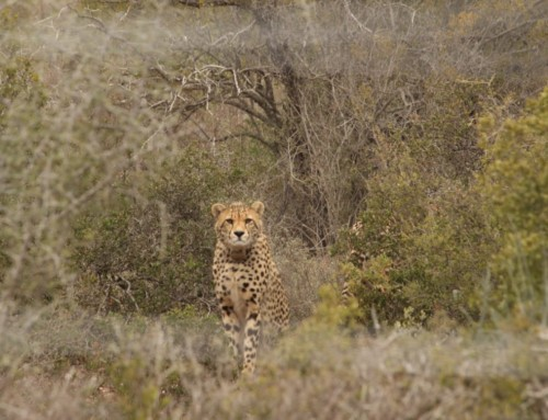 Buffelsdrift leads the charge in cheetah conservation