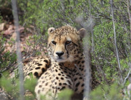 Cheetahs – 5 incredible facts about our newest members of the Buffelsdrift family