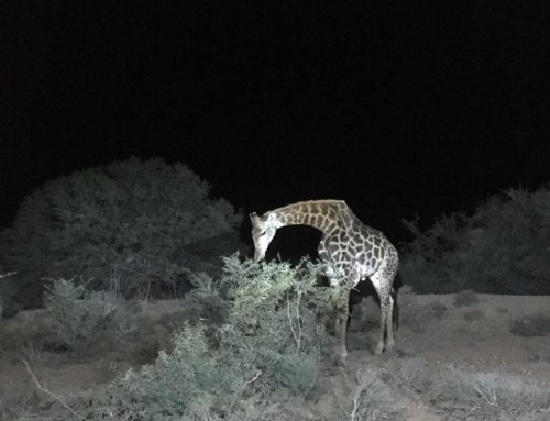 Every Buffesldrift experience should include a night game drive